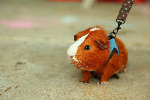 Guinea-Pig-on-A-Leash-l.jpg